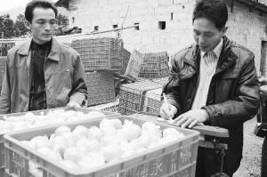 春节过后广西合作社掀起水果销售高潮