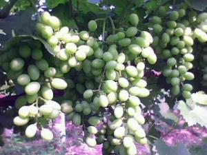 热烈庆贺:渭北千亩青提--维多利亚葡萄喜获大丰收!