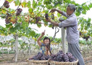 九龙坡:专业合作社促农致富白市驿葡萄熟了
