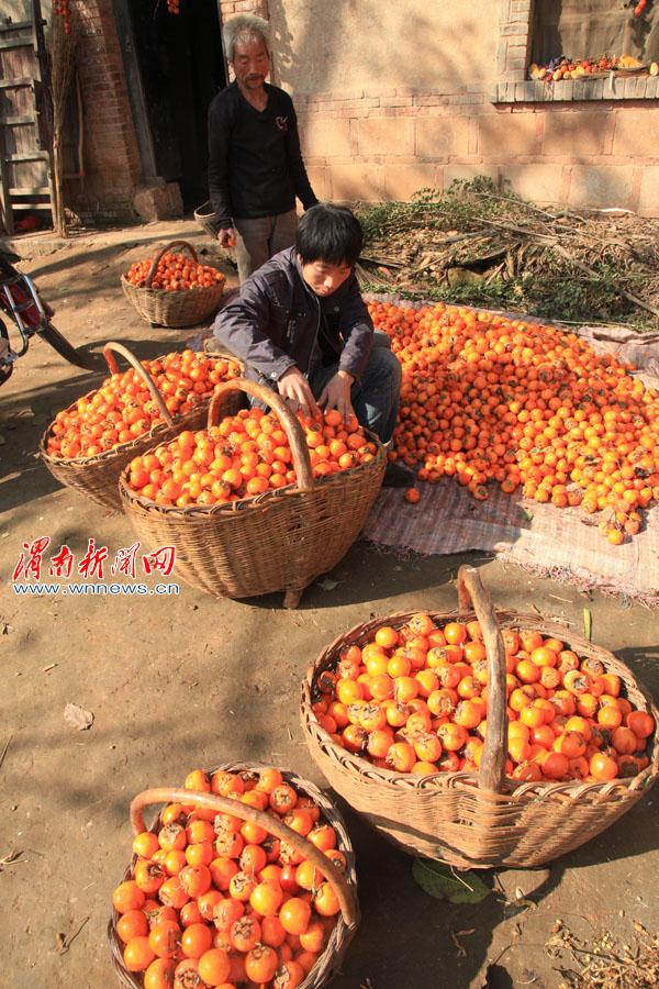 柿子丰收 柿农伤心 客商少每斤价格只有一毛