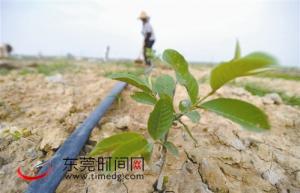 东坑拟建400亩台湾水果园