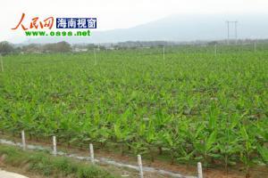 乐东香蕉基地重科研 带动周边乡镇走致富路
