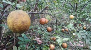 资阳柠檬果变黑 果农怀疑遭污染专家称螨虫是凶手