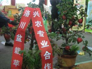 洛川一果农从远程教育学点子 苹果树可以栽进花盆