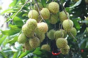 樟木头观音绿荔枝获得绿色食品A级产品认证