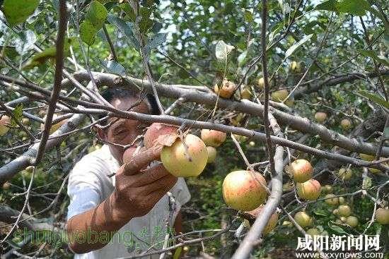 礼泉嘎啦苹果突发炭疽叶枯病