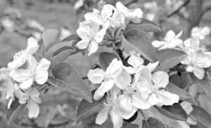 农民果树专家林芳立发明苹果芽苗当年栽植次年结果新技术