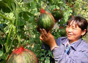 黑龙江:提前15天 双城市6万多公斤绿色瓜果上市