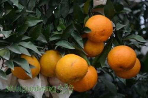 成都大兴晚熟柑橘 填补冬春之交国内鲜果市场空白