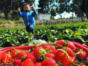 汕头市郊遍布草莓园 动手采摘草莓体验劳动乐趣