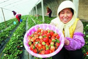 青岛本地甜草莓市场走俏 采摘价格不菲