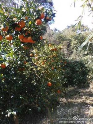 福建宁德:霞浦长春镇近20万斤酸橙滞销 村民急坏了