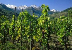 法国葡萄园烟熏之谜