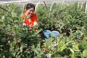 潍坊一果农草莓地里改种蓝莓 种出致富新希望