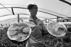 辽宁锦州:80万斤西瓜即将烂地里 微信只卖出3万斤