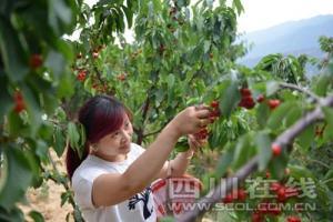 四川汉源十万亩樱桃红 体验采摘乐翻天