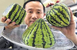 奇形西瓜受日本人喜爱 价格昂贵可作装饰品