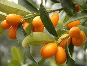 kumquat_1156438-panorama