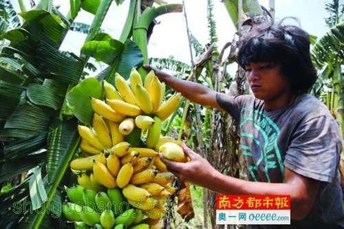 2万棵树,如今大概有5000棵粉蕉树喜迎收成,但却有1000多棵树的粉蕉