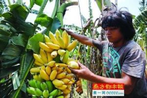 10万斤粉蕉熟透烂地里 一果农称一年多白干了