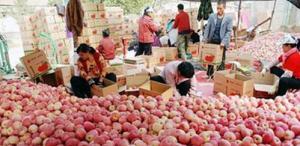 烟台苹果比去年身价缩水近半