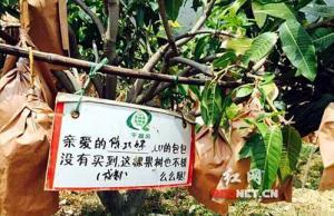 600元可买米易一棵芒果树 千里之外实时监控生长采摘