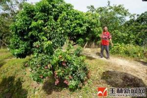 广西玉林荔枝品种优化栽培技术项目通过验收