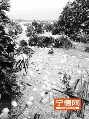福鼎:种植基地成汪洋 前岐四季柚损失惨重