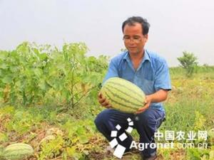 每斤3角咸阳仍有上万斤西瓜滞销 愁坏瓜农