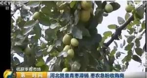 帮帮枣农!河北赞皇青枣滞销:每斤低至5毛钱!