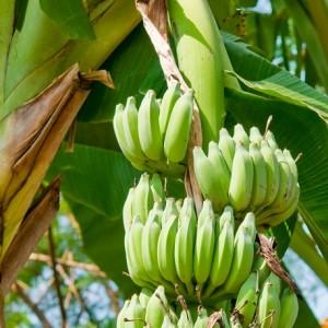 banana_87251656-small-300x300