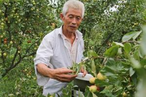 贵阳:十年枣树终挂果 农民却为卖枣愁