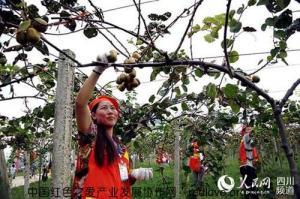 首届苍溪红心猕猴桃采摘节正式举行
