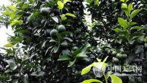 气候适宜 广西贺州砂糖橘长势良好有望丰收