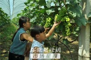 求助!安徽界首30万斤葡萄滞销 愁煞果农