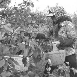 辽宁鞍山:祝家村南果梨能卖高价的秘诀