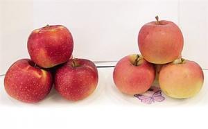 """揭开""""福丽""""的面纱―一青岛农大教授团队培育出的具有独立知识产权的苹果新品种"""