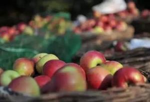 科技找回老滋味,国光苹果又回来了