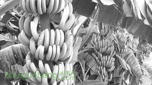 我国香蕉产业具备培育跨国公司的潜力